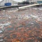 Cra-de-mojarra-tilapia-y-trucha-en-estanques-20140910210830